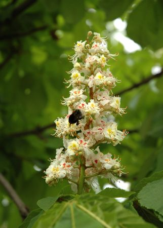 Aesculus hippocastanum (blossom of horse-chestnut tree) with honeybee