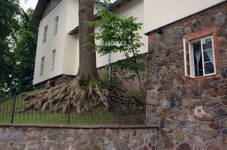 Centenarian tree with big roots above the ground and building photo