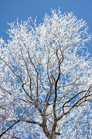 frosted tree at winter, covered snow Stock Photo - 6550347