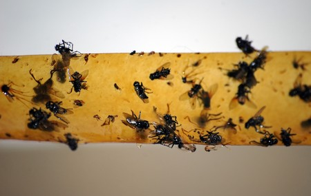 dead flys on flypaper