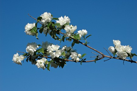 perianth: jasmine blossom on clear blue sky
