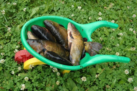 tinca tinca: fresh fish tench (tinca tinca) on children garden cart