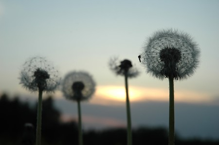 Dandelion seeds at evening with mosquito