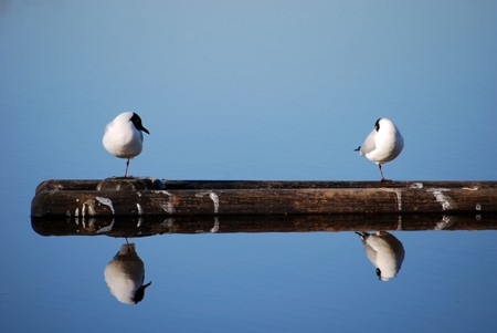 two seagulls reflacting on floating tree at sea Stock Photo - 8245636