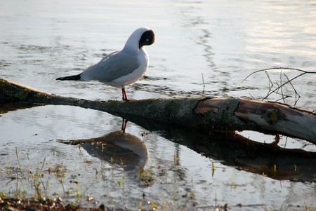 seagull reflacting on tree at sea Stock Photo - 8245621