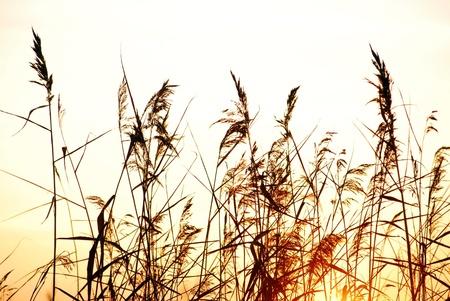 bulrush against sunlight Stock Photo - 8496843