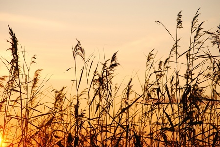 bulrush silhouette against sunlight Stock Photo - 8532233