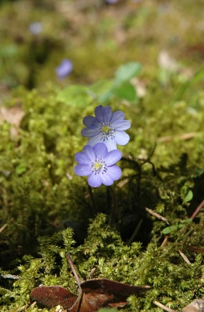 liverwort: liverwort (Hepatica nobilis) growing on the forest in moss
