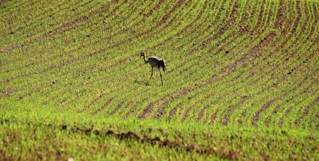 Sandhill crane (Grus grus) walking on in a grass field during  photo