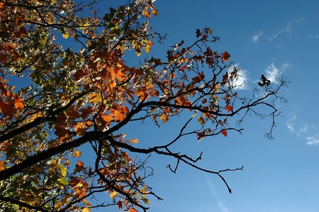 acer leaves isolated on blue sky
