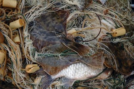 Fresh caught flounder (Platichthys flesus) in fishnet  Standard-Bild