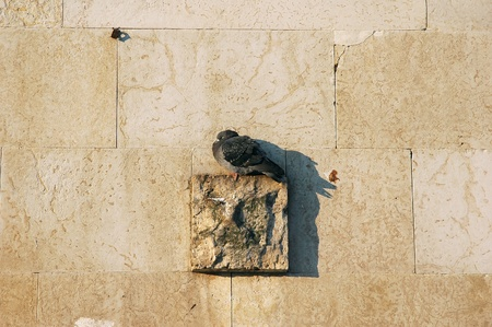 pigeon sleeping on wall stone