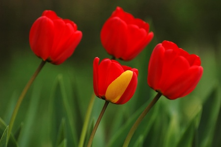 red tulip in the garden, one with yellow stripe photo