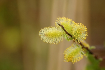 (Salix) branch isolated on blur background photo