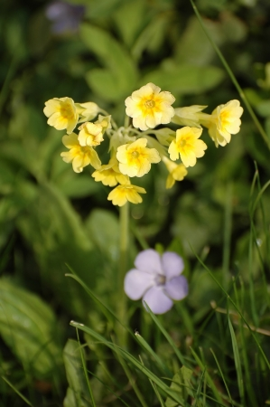 Primula veris with grass on meadow photo