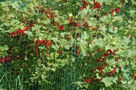 redcurrant bush covered with protective net