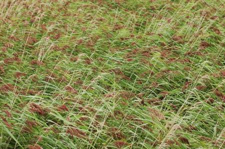 rushes: bulrush texture Stock Photo