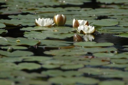 alba: white water lily on the river (Nymphaea alba)
