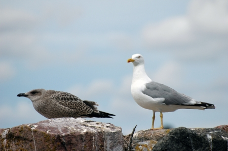 young seagull (Larus Ridibundus) standing on rocks at seaside Stock Photo - 15475846