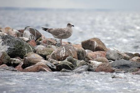 larus ridibundus: young seagull (Larus Ridibundus) standing on rocks at seaside