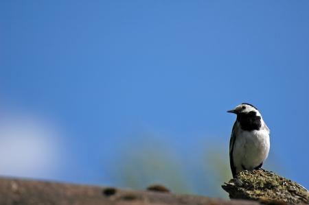 motacilla: Lavandera blanca Motacilla Alba p�jaro sobre fondo de cielo azul con insecto volador