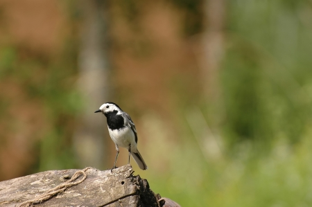 motacillidae: White Wagtail  Motacilla Alba  bird over blue sky background with flying insect