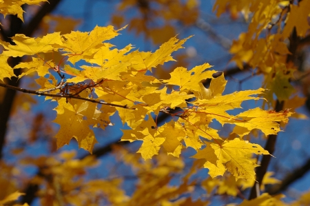 norway maple: yellow maple leaves on branch