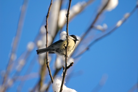 tom tit: Great tit  Parus major  on a snowy branch