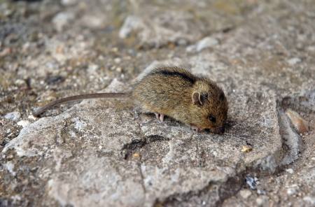 musculus: Mouse  Mus musculus  sitting on stone floor