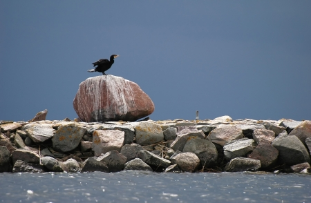 cormorant  Phalacrocorax carbo  on big stone at seaside Stock Photo - 17048301