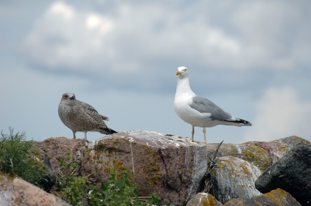 young seagull  Larus Ridibundus  standing on rocks at seaside Stock Photo - 17048343