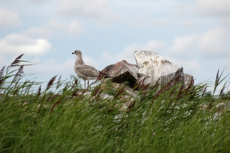 ridibundus: young seagull  Larus Ridibundus  standing on rocks at seaside Stock Photo