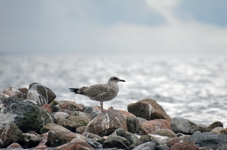 marinelife: young seagull  Larus Ridibundus  standing on rocks at seaside Stock Photo