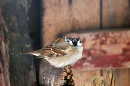 sparrow waiting on the yard furniture