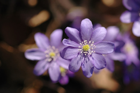 gray anemone: liverwort  Hepatica nobilis  growing on the forest in moss