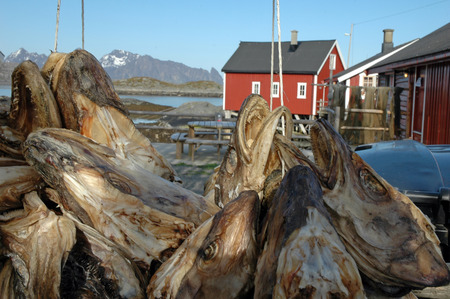 Racks full of dried codfish heads, Kjeoya, Svolvaer, Lofoten, Norway