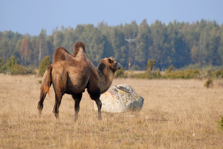 Camel on meadow in ?land, Sweden photo