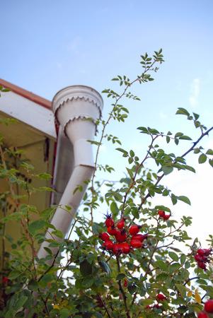 waterspout: waterspout epoca su sfondo di brierberry cespuglio