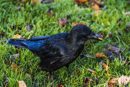 varmint: crow eating in park at autumn Stock Photo