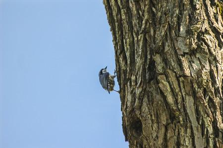 Log Out: nuthatch (Sitta europaea) on tree