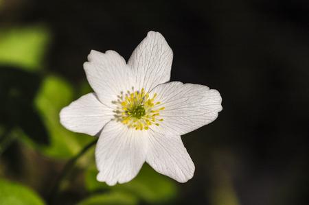 acetosella: Alaz�n de madera (Oxalis acetosella) en el bosque