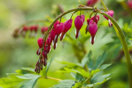bleeding heart: Bleeding heart flowers (Dicentra spectabils) Stock Photo