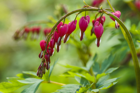 hemorragias: Flores del coraz�n sangrante (Dicentra spectabils)
