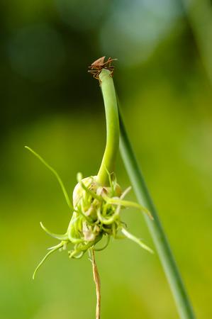 prasina: wild fly hemiptera Nezara Viridula Heteroptera pentatomidae palomera prasina on garlic