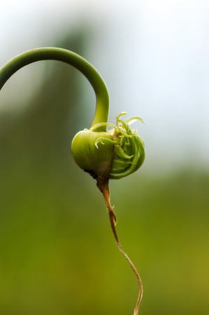 garlic closeup at summer photo