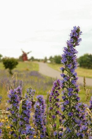 windmill on background with road and flowers in Oland, Sweden
