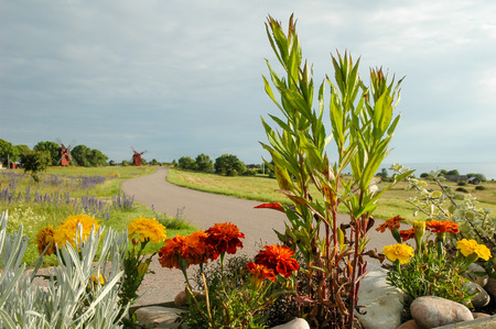 sweden resting: windmill on background with road and flowers in Oland, Sweden
