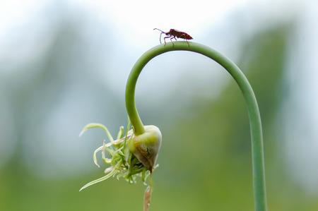 Wild Fly Hemiptera Nezara Viridula Heteroptera Pentatomidae Palomera Prasina On Garlic