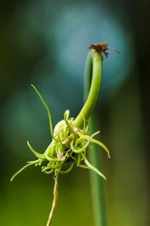 pentatomidae: Wild Fly Hemiptera Nezara Viridula Heteroptera Pentatomidae Palomera Prasina On Garlic