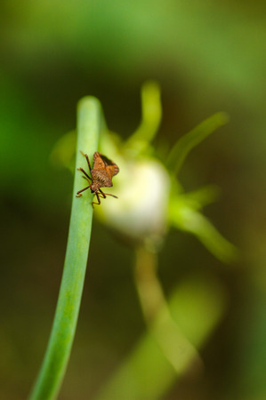 pubescent: Wild Fly Hemiptera Nezara Viridula Heteroptera Pentatomidae Palomera Prasina On Garlic